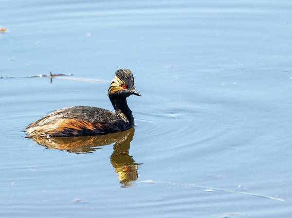Photograph - Eared Black Necked Grebe by Michael Chatt