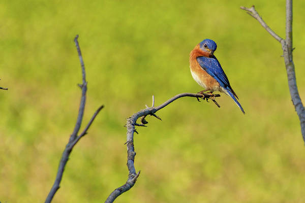 Photograph - Eastern Bluebird by Randy Bayne