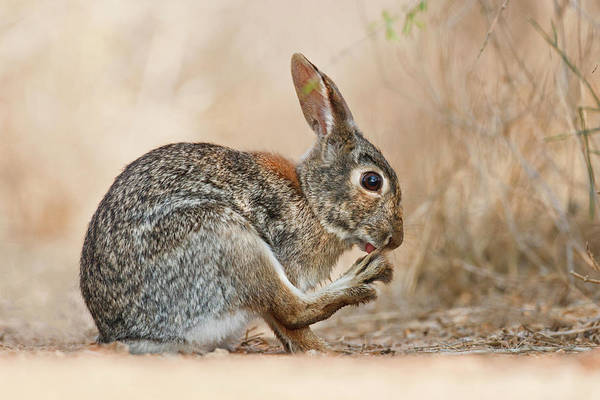 Cottontail Photograph - Eastern Cottontail Sylvilagus by Danita Delimont