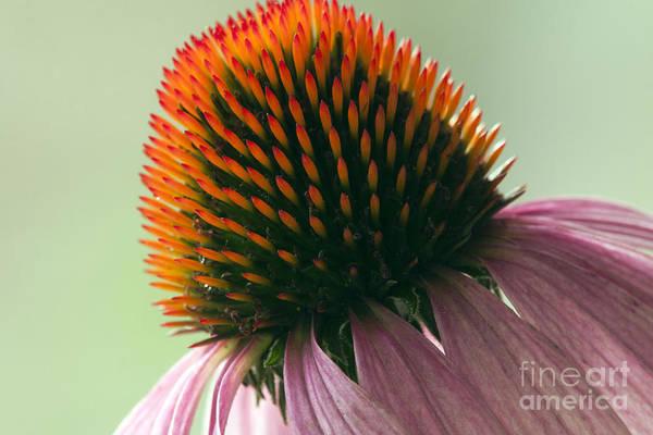 Florist Wall Art - Photograph - Echinacea Eye Candy by Tammy Harriss
