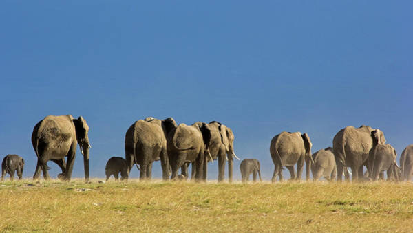 Contrasts Photograph - Elephant Herd by Wldavies