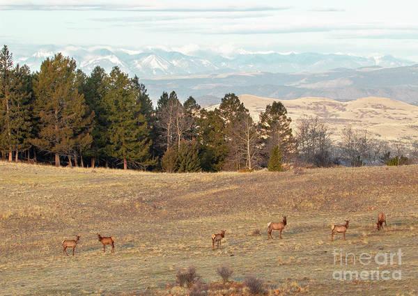 Photograph - Elk Herd by Steve Krull
