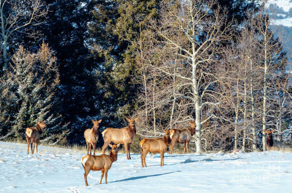 Photograph - Elk In Fresh Snow by Steve Krull