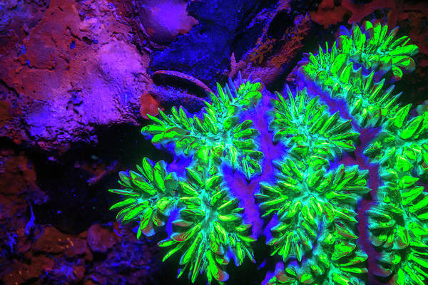 Wall Art - Photograph - Elliptical Star Coral, Day Fluorescing by Stuart Westmorland
