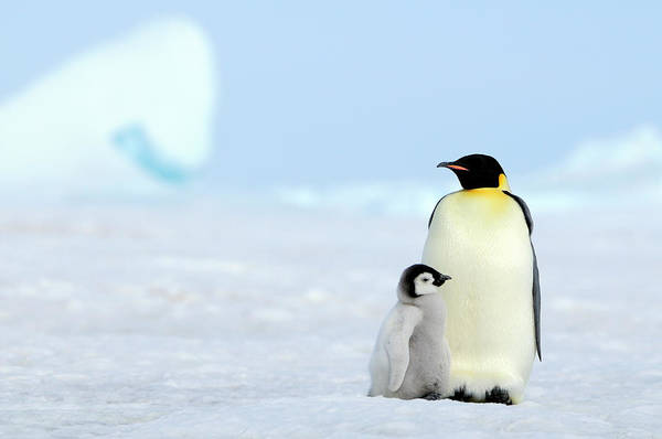 Emperor Penguin Art Print by Tcyuen