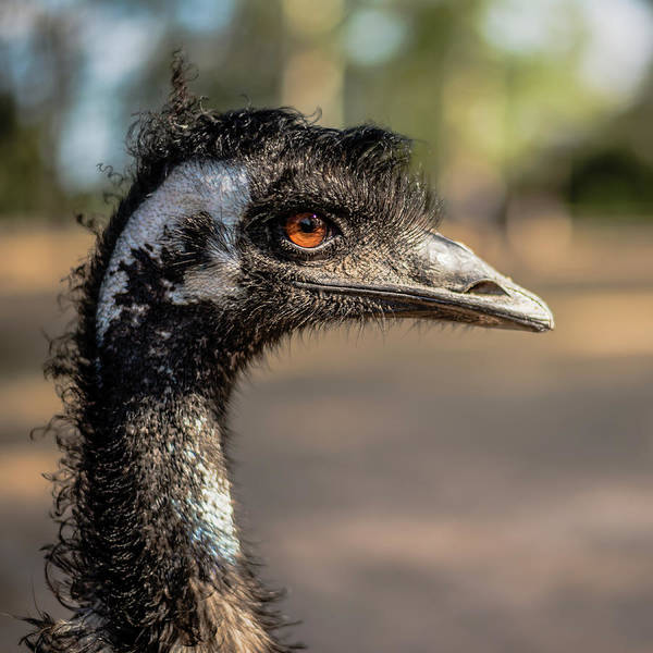 Photograph - Emu By Itself Outdoors During The Daytime. by Rob D Imagery