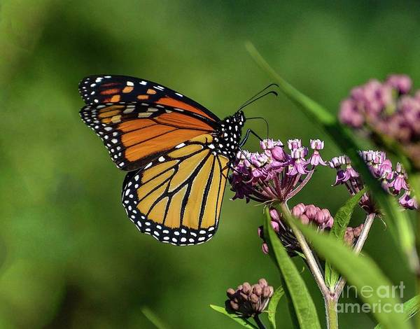 Wall Art - Photograph - Enchanting Monarch by Cindy Treger