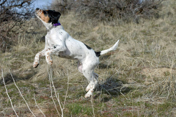Wall Art - Photograph - English Setter Puppy, 14 Weeks by William Mullins