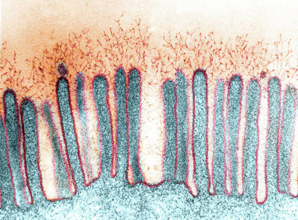 Wall Art - Photograph - Epithelial Glycocalyx With Branching by Don Fawcett