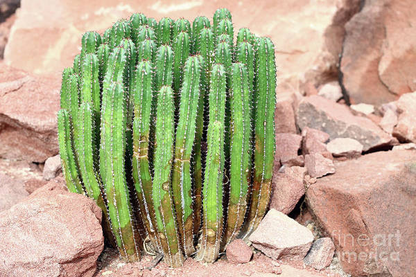 Wall Art - Photograph - Euphorbia Resinifera - Resin Spurge by Michal Boubin