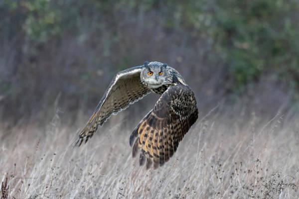 Eurasian Eagle Owl Flying Art Print