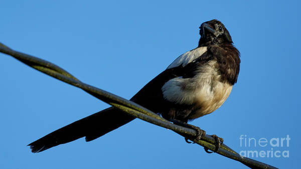 Photograph - Eurasian Magpie Pica Pica Perched On Wire by Pablo Avanzini