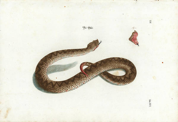 Art Print featuring the drawing European Adder by Johann Daniel Meyer