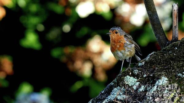 Photograph - European Robin Erithacus Rubecula by Pablo Avanzini
