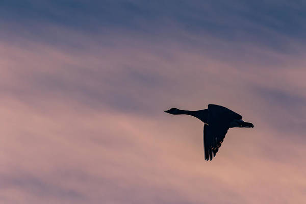 Photograph - Evening Flight by Allin Sorenson