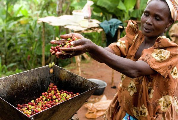 Real People Photograph - Fairtrade Coffee Farmer Harvesting by Simon Rawles