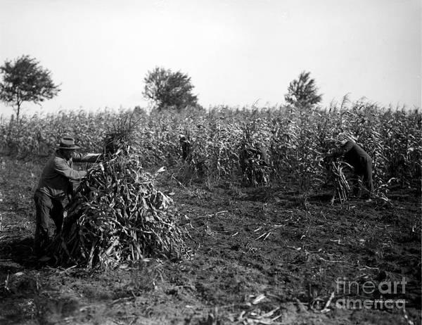Photograph - Farming Corn, C1905 by Granger