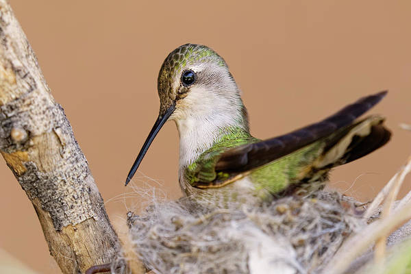 Wall Art - Photograph - Female Anna's Hummingbird On Nest by Adam Jones