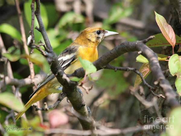 Wall Art - Photograph - Female Baltimore Oriole Northern Race by J McCombie