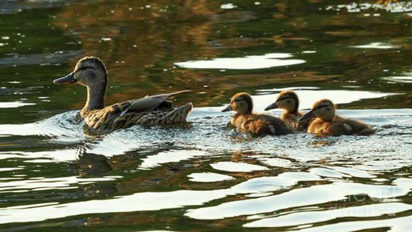 Photograph - Female Mallard And Ducklings Swimming At Sunset by Pablo Avanzini