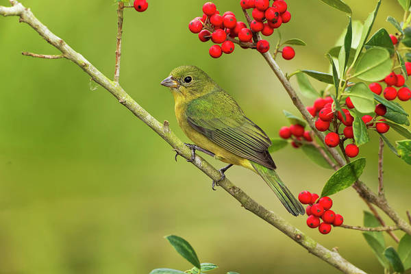 Wall Art - Photograph - Female Painted Bunting On Branch by Adam Jones