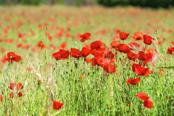 Wall Art - Photograph - Field Of Poppies by Jim Engelbrecht