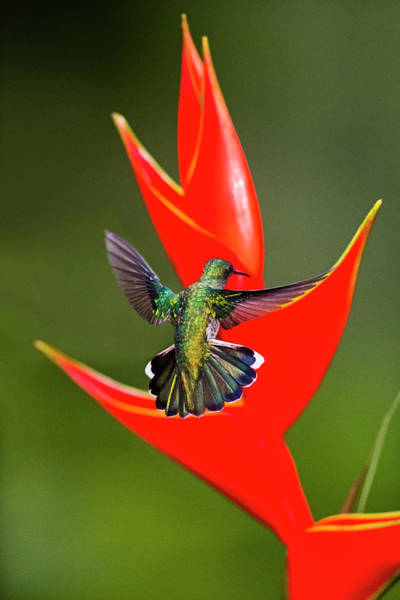 Wall Art - Photograph - Fiery-throated Hummingbird Panterpe by Panoramic Images