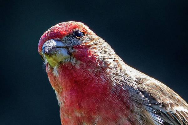 Photograph - Finch by Allin Sorenson