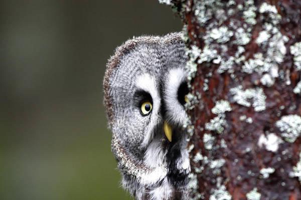 Bird Photograph - Finland, Lapland Province, Kuusamo by Cordier Sylvain / Hemis.fr