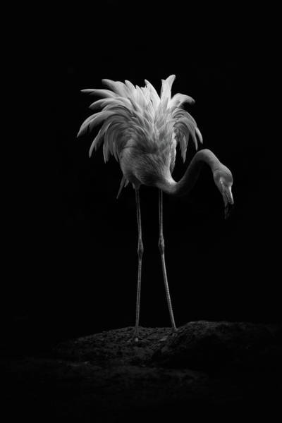Photograph - Flamingo by Billy Currie Photography
