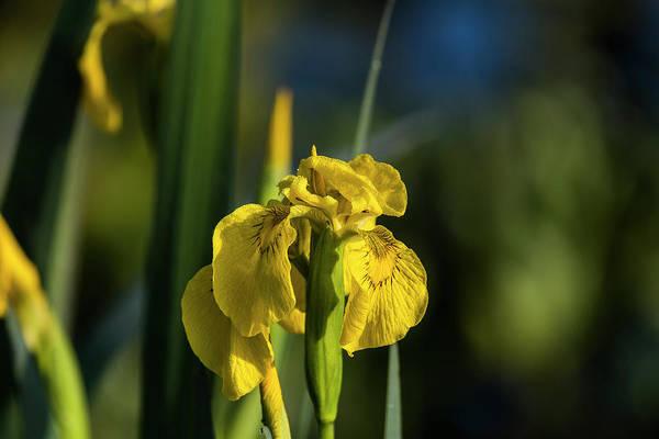 Photograph - Fleur-de-lis  by Robert Potts