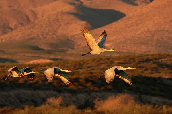 Wall Art - Photograph - Flock Of Sandhill Cranes Taking by Adam Jones