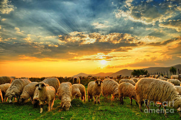 Wall Art - Photograph - Flock Of Sheep Grazing In A Hill At by Mihai tamasila