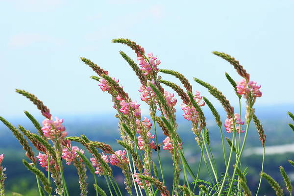 Sainfoin Wall Art - Photograph - Flowering Sainfoin Onobrychis Viciifolia Germany by imageBROKER - Caroline Brinkmann