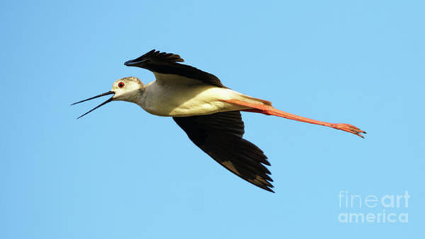 Photograph - Flying Black-winged Stilt Himantopus Himantopus by Pablo Avanzini