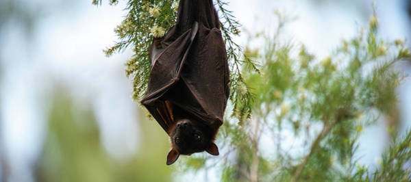 Photograph - Flying Fox Bat by Rob D Imagery