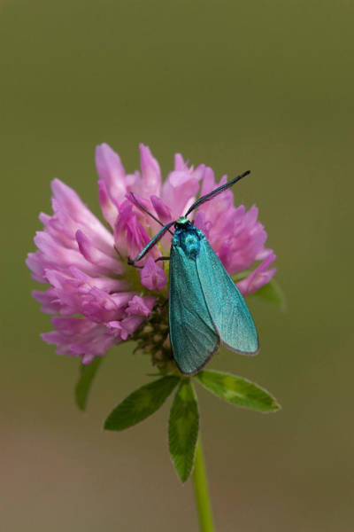 Wall Art - Photograph - Forester Moth by David Hosking