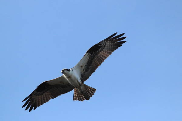 Photograph - Free Flying Osprey by Karen Silvestri