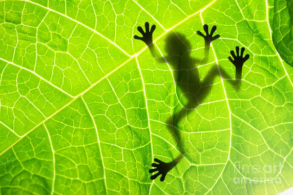 Organic Garden Wall Art - Photograph - Frog Shadow On The Leaf by Patryk Kosmider