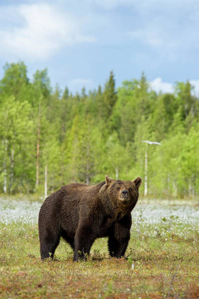 Bear Country Wall Art - Photograph - Full Body Shot Of A Brown Bear by Guenterguni