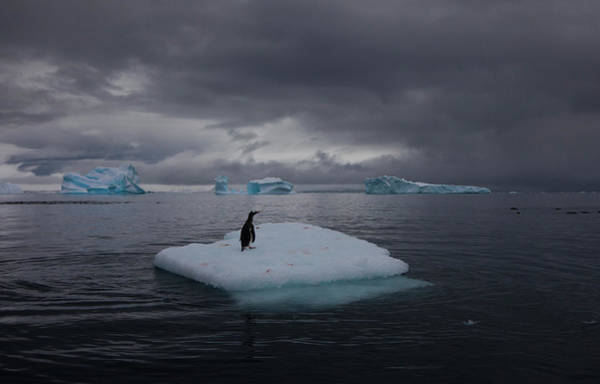 Vertebrate Photograph - Gentoo Penguin On An Iceberg, Antarctica by Mint Images - Art Wolfe