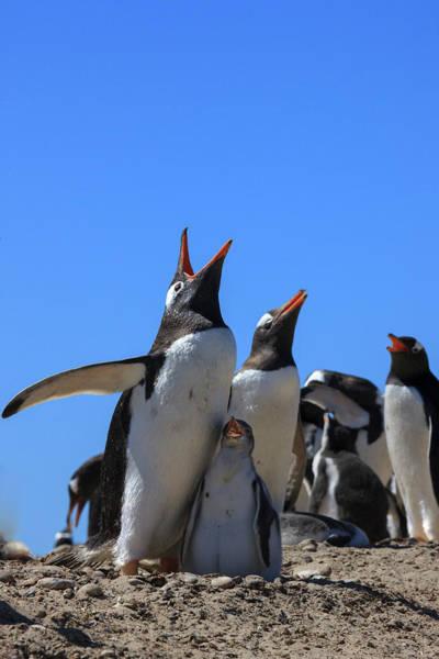 Islas Malvinas Wall Art - Photograph - Gentoo Penguin Rookery by Tom Norring