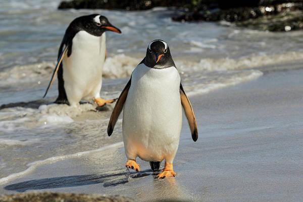 Wall Art - Photograph - Gentoo Penguins In Surf, Falkland by Adam Jones