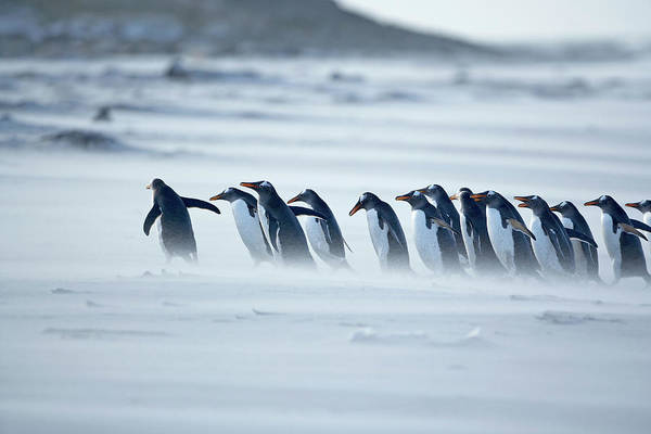 Marching Photograph - Gentoo Penguins Pygoscelis Papua Papua by Marco Simoni