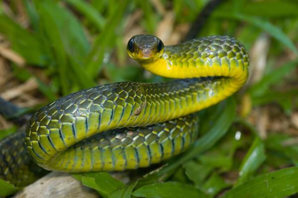 Wall Art - Photograph - Giant Bird Snake Pseustes Sulphureus by Michael Lustbader