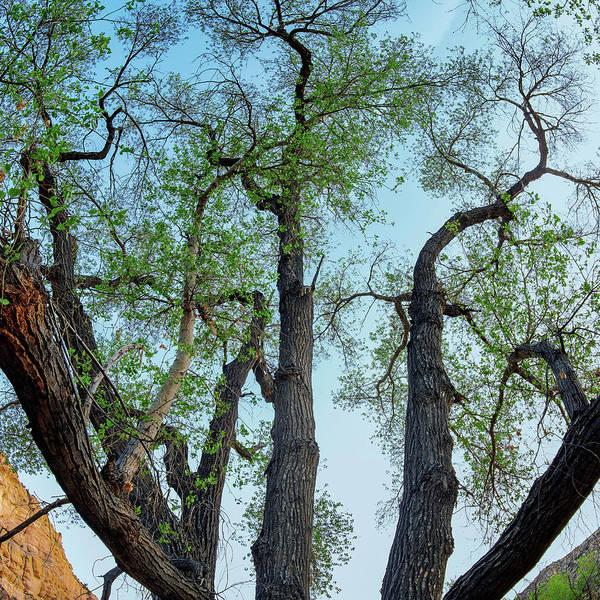 Photograph - Giant Cottonwood by Leland D Howard
