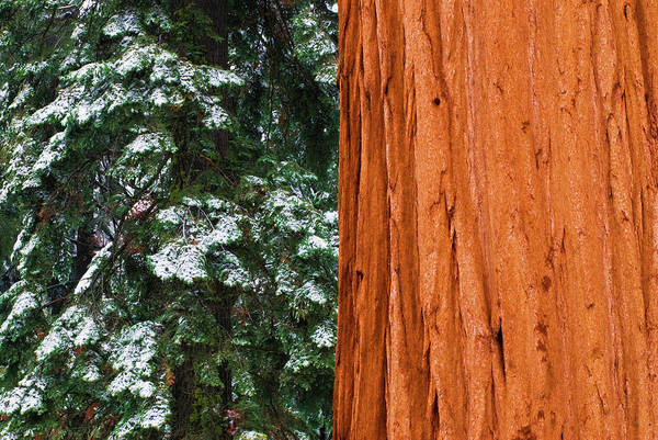 Wall Art - Photograph - Giant Sequoia In Winter, Giant Forest by Russ Bishop