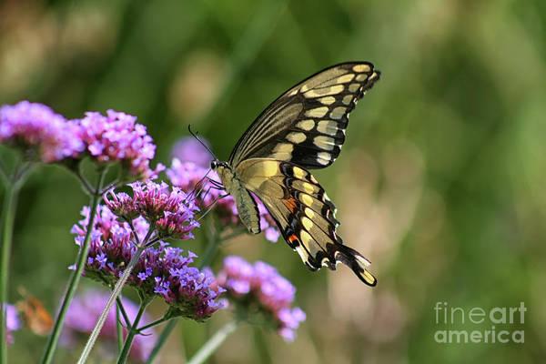 Photograph - Giant Swallowtail Butterfly On Verbena by Karen Adams