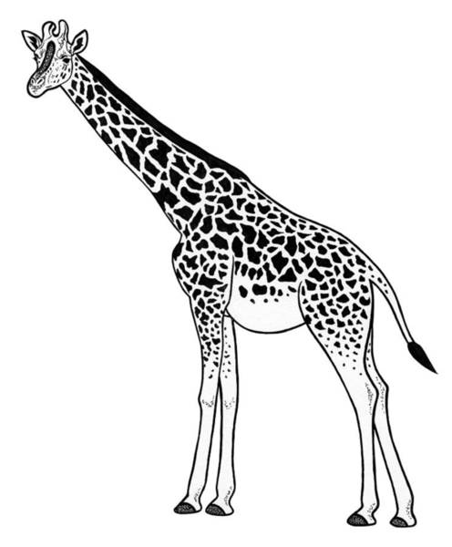 African Animal Drawing - Giraffe - Ink Illustration by Loren Dowding