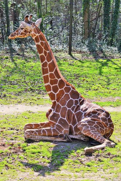 Photograph - Relaxing Giraffe by Lisa Wooten
